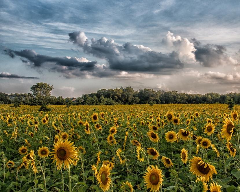 Sunset on an Indiana SunflowerField